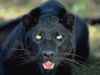 Black Panthers in Louisiana?