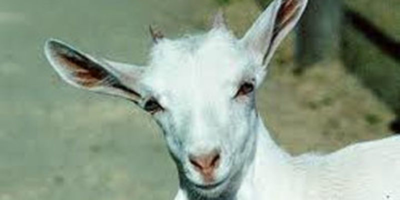 How About A Billy Goat Attack Video?