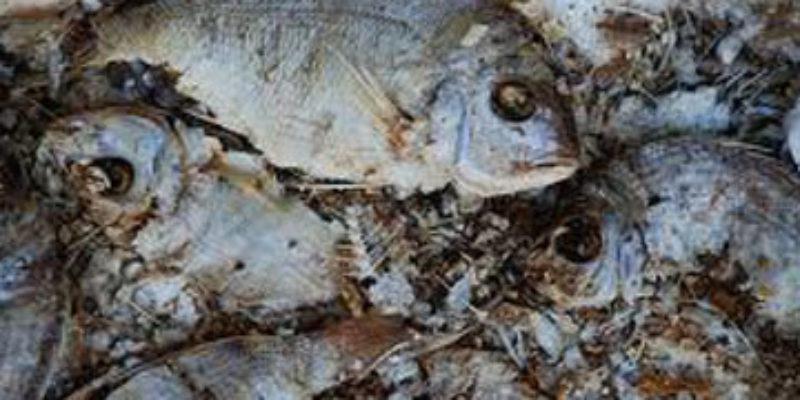 SARGE: Rotting Fish