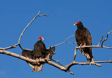 image of vultures roosting