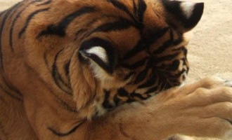 PETA Wants LSU To Stop Using Live Tiger Mascots. Here's Why PETA Should Go Pound Sand