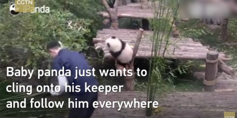 VIDEO: Have You Seen The Baby Panda Who Won't Leave The Zookeeper Alone?