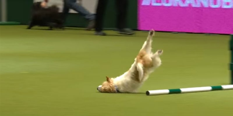 VIDEO: Take A Jack Russell And Make Him Run An Obstacle Course, They Said…