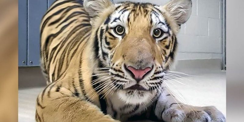 There Is A New Tiger On Campus At LSU Today, And He's Probably Mike VII