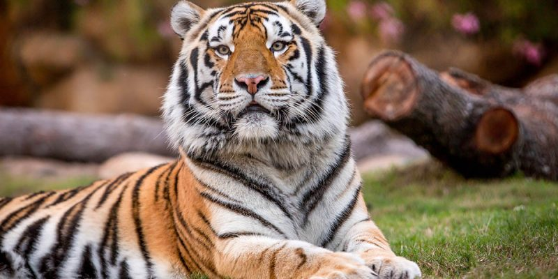 LSU On Mascot Search: We Have A Tiger Coming