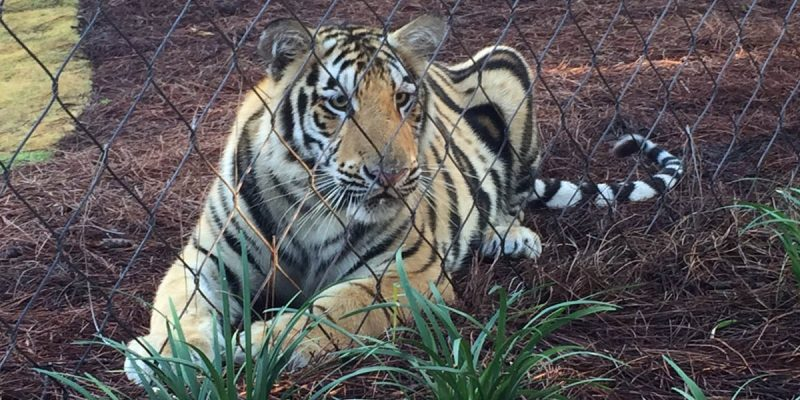 VIDEO: Harvey The Tiger Has Now Become Mike VII