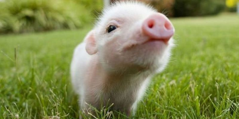 APPEL: Stuck Pigs Squeal The Loudest, And So Do The Lawyers