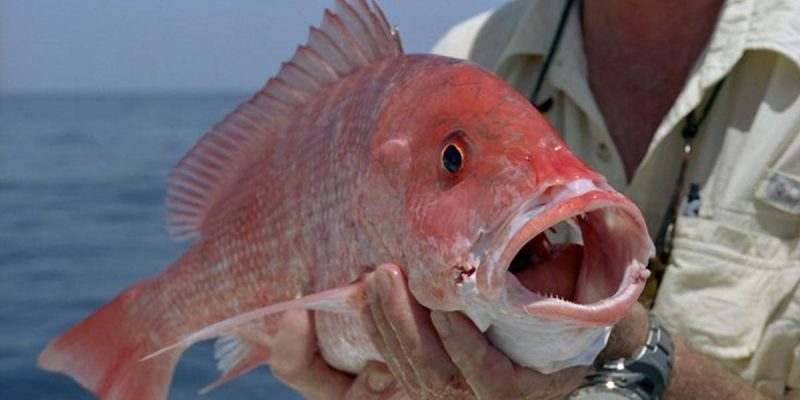CARLETON: A Possible End To The Federal Government's Regulatory Red Snapper Debacle?