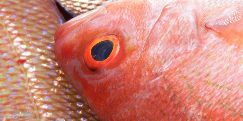 Source: State Officials Are Collaborating With Environmentalists Over Red Snapper Fishing