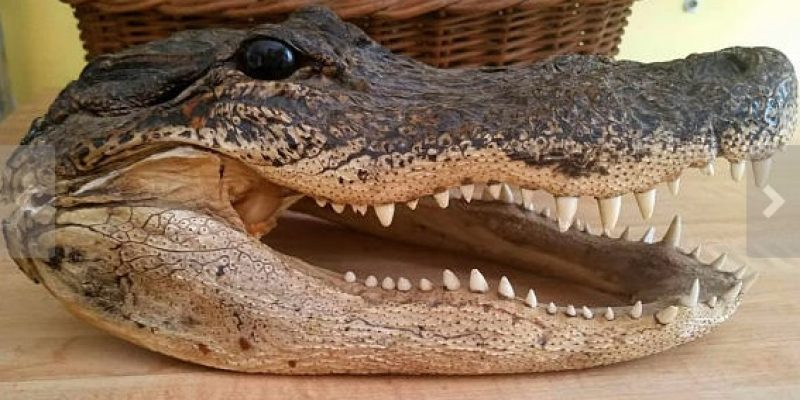 Yes People Are Selling Alligator Heads …