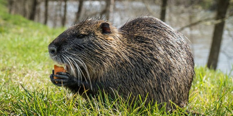 FINALLY, Y'all Start Listenin' To Us Nutria!