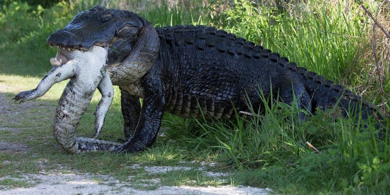 Sheriff with AR15 saves teen from Florida gator [video]