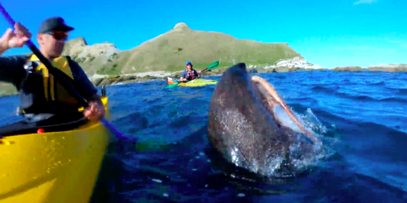 One of the best videos you'll ever watch: being slapped by a seal with an octopus