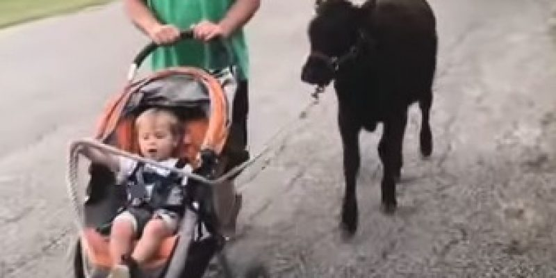 Adorable: rescued calf from Harvey grows up with little boy [video]
