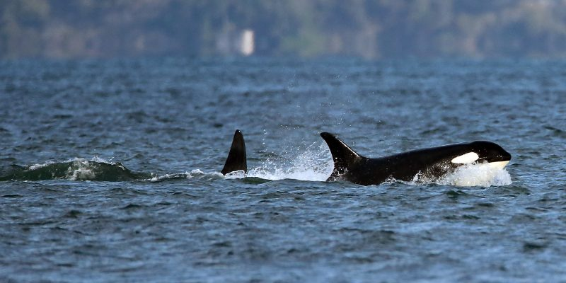 "$1 billion to ""save"" orcas, increased business and capital gains taxes too"