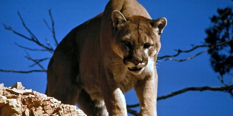 Man Kills Mountain Lion With Bare Hands During Attack