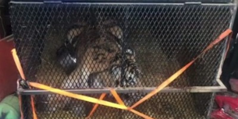 And in Houston… someone kept a TIGER in a cage in their garage [video]
