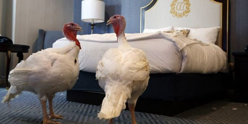 Trump's turkeys Bread and Butter spend a few days at the Willard Hotel ahead of Thanksgiving [videos]