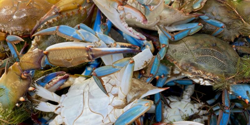 MARSH MAN MASSON: Marsh Lake Loaded With Keeper Crabs!