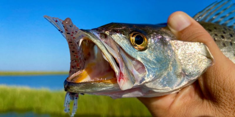 MARSH MAN MASSON: Speckled Trout Invasion Ramps Up!