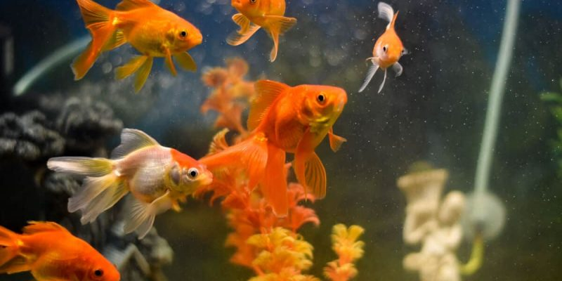 APPEL: The Goldfish Theory Of America